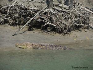 Croc - Dobanki - Sundarban