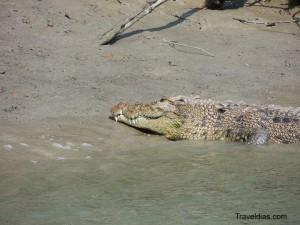Crocodile - Sundarban