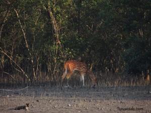 Deer - Panchmukhi - Sundarban