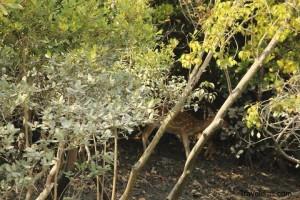 Deer - Sajnekhali - Sundarbans