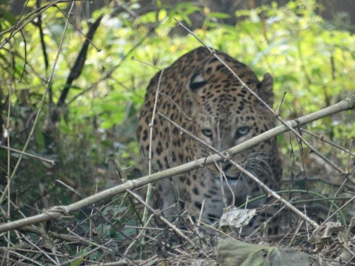 Leopard - Chilapata Forest