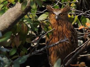 Owl - Sundarban