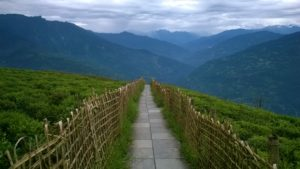 Temi Tea Garden – The Only Tea Garden of Sikkim
